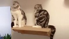 Cats on shelf - Viral Videos Funny Animal Memes, Cute Funny Animals, Funny Animal Pictures, Cat Memes, Funny Cute, Cute Cats, Crazy Cats, I Love Cats, Cats Are Assholes