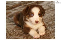 Australian Shepherd   Meet Red Tri 1 blue eye a cute Australian Shepherd puppy for sale for ...