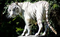 35 Ferocious Tiger Wallpaper for your Desktop White Tiger Pictures, Tiger Images, Types Of Tigers, White Bengal Tiger, White Tigers, Tiger Wallpaper, Hd Wallpaper, Desktop Wallpapers, Tiger Paw