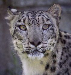 Красивые Кошки, Большие Кошки, Кошки И Котята, Милые Животные, Дикие Животные, Леопарды, Тигры, Собаки, Снежный Барс