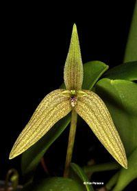 Bulbophyllum species, orchid photographs