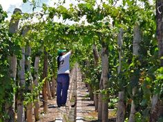 """""""Trellising Petit Verdot vines forms a tunnel of green over the irrigation canal in La Piramide Vineyard #Harvest2013"""" Catena Zapata"""