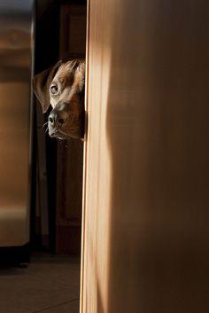 Cute dogs hide and seek Cute Pets All Dogs, I Love Dogs, Puppy Love, Cute Puppies, Dogs And Puppies, Cute Dogs, Doggies, Rhodesian Ridgeback, Vizsla