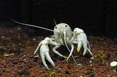 albino crayfish