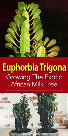 African Milk Tree (Euphorbia trigona) a tall, rugged, easy-care plant with thorns. Many people think of it as a cactus but this succulent has a variety of landscaping and gardening uses.