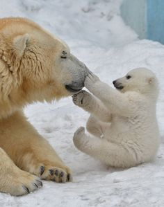 Beautiful moment between mama polar bear and the puppy