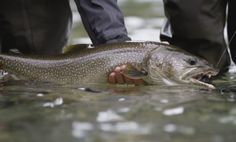 In the trailer for Season 2 of Fly Fusion TV, they venture deep into British Columbia's backcountry in pursuit of big bull trout and rainbows on the fly. Fishing Videos, Trout, British Columbia, Season 2, Fly Fishing, Rainbows, Deep, Tv, Brown Trout