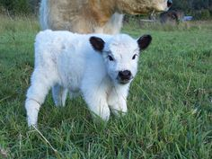 23 Mini Cow Pictures you've never seen before - meowlogy Baby Farm Animals, Baby Cows, Cute Little Animals, Cute Funny Animals, Animals And Pets, Cute Dogs, Baby Elephants, Wild Animals, Cow Pictures