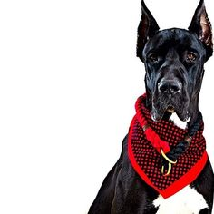 Great Dane (Apollo) wearing lasso cotton collar #Lasso www.lassopr.com