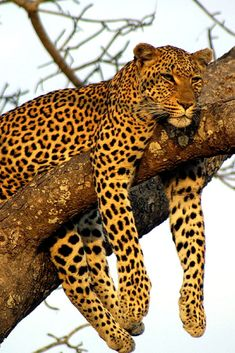 """Your honeymoon is the perfect time to splurge on a the safari of your dreams. Take two weeks to relax on this """"bush to beach"""" vacation, where you will experience the best of Southern Africa. Start at one of many luxury safari lodges in Sabi Sand, a private conservation area near Kruger National Park in South Africa. After a week of early-morning game drives and incredible close-up wildlife encounters, travel to the secluded beaches off the coast of Mozambique."""