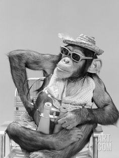 1960s - Chimpanzee Sitting in Beach Chair