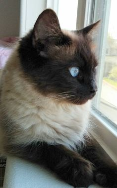 Meet Mae, an adopted Siamese & Balinese Mix Cat, from Cat's Cradle Rescue in Hillsboro, OR on Petfinder. I Love Cats, Crazy Cats, Cool Cats, Siamese Kittens, Cats And Kittens, Pretty Cats, Beautiful Cats, Seal Point Siamese, Balinese Cat