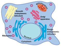 Organelles of an Animal Cell - Biology101 Study Guide