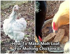 How To Make Molt Loaf For Molting Chickens. Did you know that if your chicken is molting they usually stop laying eggs? Help them regrow their feathers