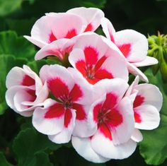 geranio Plantar, Outdoor Gardens, Ivy, Outdoor Living, Red And White, Seeds, Home And Garden, Bloom, Rose