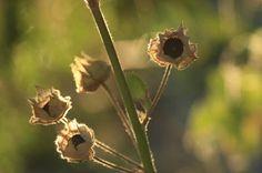 Malva moschata Perennials, Dandelion, Colorful, Flowers, Plants, Dandelions, Plant, Taraxacum Officinale, Royal Icing Flowers