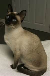 Traditional Seal Point Siamese Cats - Bing Images