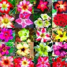 Kit Sementes Rosa do Deserto