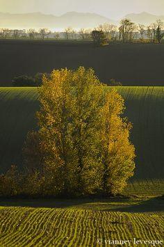 Peupliers d'or et collines du gers