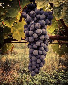 Round 4.Ultimo capitolo per il 2015. #cabernet #cabernetsauvignon #vendemmia2015 #valcalepio#vendemmia#harvest#wineyard #vigneto#grappolo #cluster #grapes #bellocomeilsole