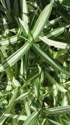 Bambus Pleioblastus simonii Variegatus is a medium sized variegated bamboo for sale online at our London plant centre, UK