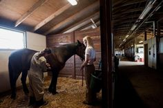 A clinical student examines a horse as part of her clinical practice