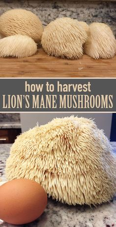 How to harvest, clean, and prepare lion's mane mushrooms.