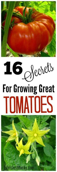 Whether on your Farm, homestead or just your backyard garden, everyone wants to grow tomatoes like a pro. Here are 16 secrets for growing great organic tomatoes. DIY tips for the begining gardener or the expert. Expand your garden knowledge and reduce mistakes in your vegetable garden. Make this years gardening adventure the most rewarding yet!