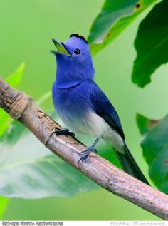 Black-Naped Monarch (Hypothymis Azurea) or also known as the black-naped blue flycatcher is a slim and agile passerine bird belonging to the family of monarch flycatchers. Kinds Of Birds, All Birds, Little Birds, Angry Birds, Pretty Birds, Beautiful Birds, Animals Beautiful, Simply Beautiful, Exotic Birds