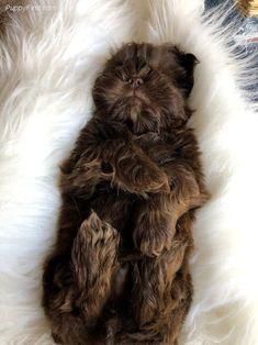 All About Fun Shih Tzu Puppy Temperament Baby Shih Tzu, Shih Tzu Puppy, Shih Tzus, Brown Shih Tzu, Puppy Stages, Shitzu Puppies, Rottweiler Dog, Pet Birds, Cute Dogs