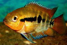 Rainbow Cichlid | Central American | American Cichlids | Fish | Smiths Aquarium