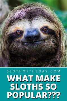 The Popularity of Sloth An Inside Edition Report - Sloth Of The Day Sloths, Pinterest Popular, How To Find Out, Lemur, Sloth