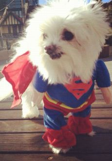 Little doggie Rambo trying to be the Man of Steel.