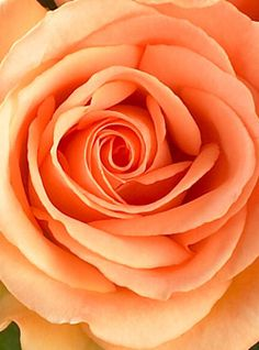 Google Image Result for http://www.papertastebuds.com/wp-content/uploads/2009/03/peach-roses-1dz-1.jpg Peach roses were also a part of my bridal bouquet