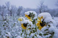 Sonnenblumen im Schnee?!
