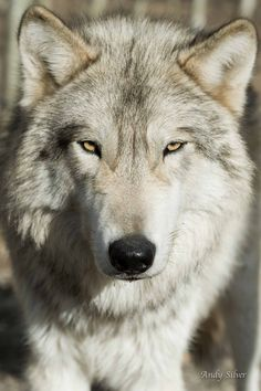 Wolf by Andy Silver. So different looking. Possibly a subspecies of the Gray wolf(Canis lupus).