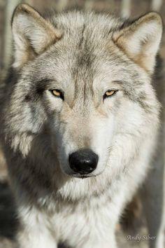 5524 fantastiche immagini su wolf totem nel 2019 wolf pictures