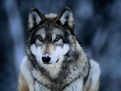 Wolf: Noble and wild. Wolf can teach you to watch silently, be loyal to family, or to protect yourself. Wolf is often shy, but knows how to defend the pack and young. Wolf Totem, Beautiful Creatures, Animals Beautiful, Cute Animals, Wild Animals, Pretty Animals, Animals Dog, Wolf Pictures, Animal Pictures