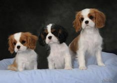 Orchard Hill Cavaliers