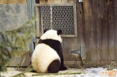 "This is so cool is Panda therapy.  This one is called """"Forgive me Father, for I have sinned... """""