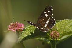 Mariposa: Bataraza - Foto: J. Simón Tagtachian