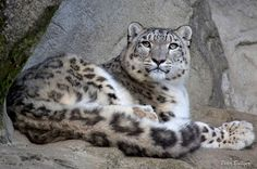 https://www.facebook.com/snowleopard.org/photos/a.337479951912.183327.77272446912/10152507506311913/?type=1 Snow Leopard Trust Liked · June 5 · Edited Leaders from all 12 snow leopard countries will gather in Kyrgyzstan over the next week to identify key habitats to protect for the cats! We're eagerly awaiting news about their progress!