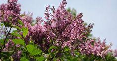 Unkarinsyreeni täydentää puutarhan kukkivien kasvien valikoimaa. Keräsimme tärkeimmät hoito- ja leikkausohjeet, joidan avulla saat unkarinsyreenin kukoistamaan.
