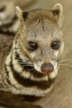 The African Civet is a species of civets that are spread throughout a wide range in the continent of Africa. They are famous for their musk, secreted from their. Interesting Animals, Unusual Animals, Rare Animals, Animals And Pets, Funny Animals, Strange Animals, Wild Animals, Vida Animal, Mundo Animal
