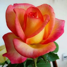 """This is such a fine """"glowing"""" rose Amazing Flowers, Beautiful Roses, Beautiful Gardens, Beautiful Flowers, Rose Pictures, Flower Photos, Growing Gardens, Rainbow Roses, Growing Roses"""