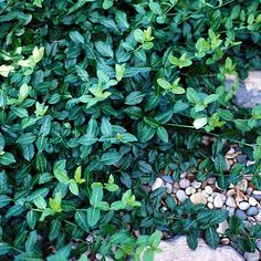 Euonymus-Winter Creeper- 32 Jumbo Landscape Plugs