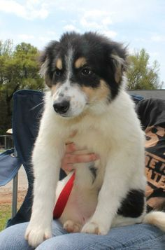 Becky is a 3-month-old female Collie mix. She is tricolor but her coat is mostly white with black and brown markings. Her fur is very soft and you just love to run your fingers through it! Becky is a sweet little girl who gets along well with...