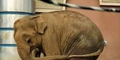 SHE IS SO LONELY, SHE HOLDS HER TAIL FOR COMFORT. PLEASE HELP MALI THE LONELIEST ELEPHANT IN THE WORLD.
