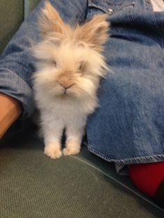 Lionhead rabbit #bertie