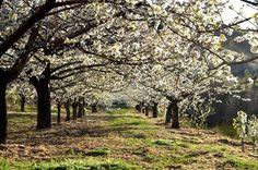 Cerejeiras em flor no Fundão, no centro de Portugal   Crédito: Fundão Turismo